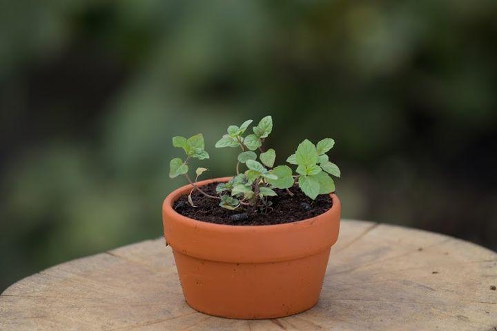有機荷蘭薄荷(塑膠盆栽)