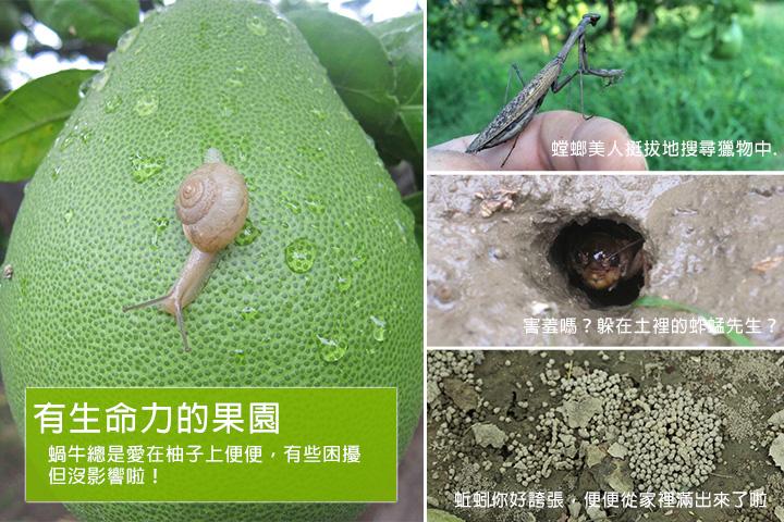有生命力的果園  蝸牛總是愛在柚子上便便,有些困擾但沒影響啦!  螳螂美人挺拔地搜尋獵物中...  害羞嗎?躲在土裡的蚱蜢先生?  蚯蚓你好誇張,便便從家裡滿出來了啦...